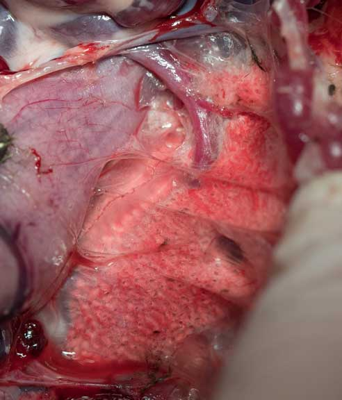 Lung of a bird during a necroopsy