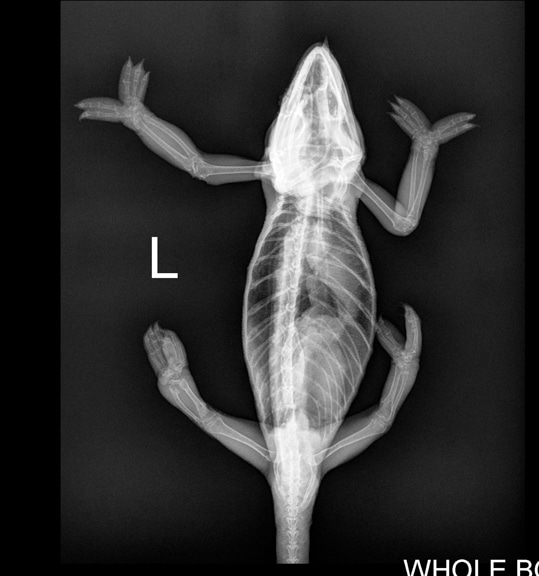 Top view X-ray of a chameleon with normal bones