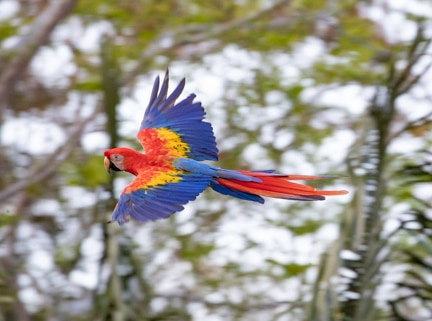 Macaw flying by in Costa Rica