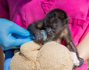 Howler Monkey Baby Biting Stethoscope