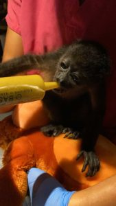 Baby Howler Monkey Being Fed