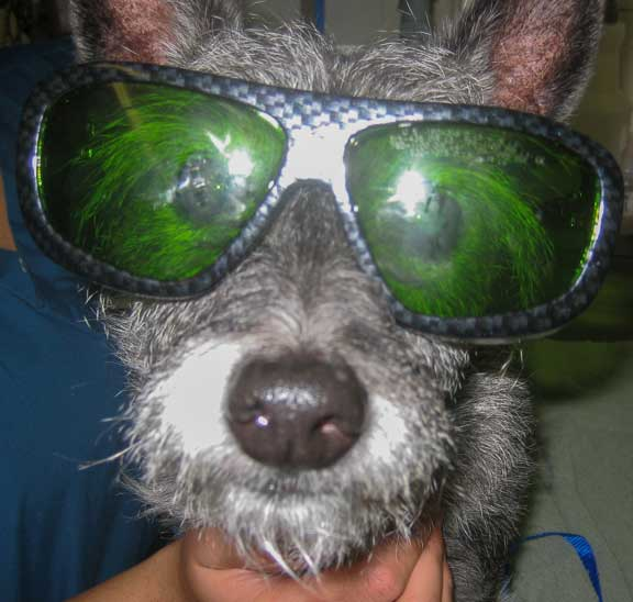 Dog wearing a pair of laser therapy glasses