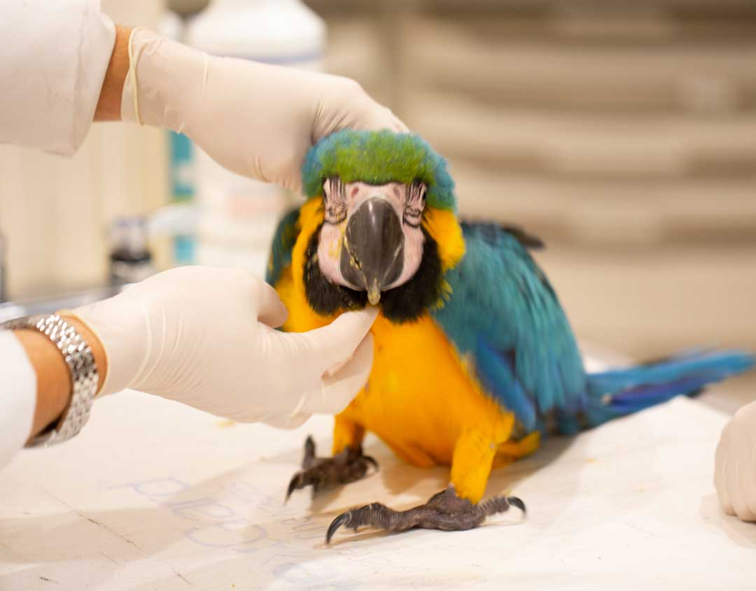 Macaw undergoing an exam by one of our doctors