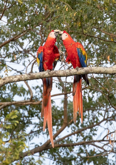 Macaw Pair Nuzzling