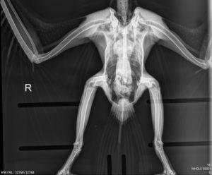 Digital x-ray of an osprey from our Wildlife Program