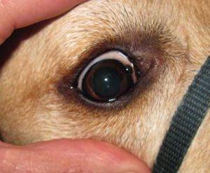 Dog with eye tumor