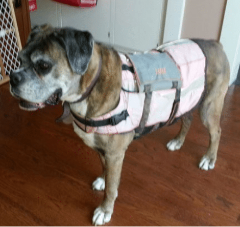 Canine holter ekg harness