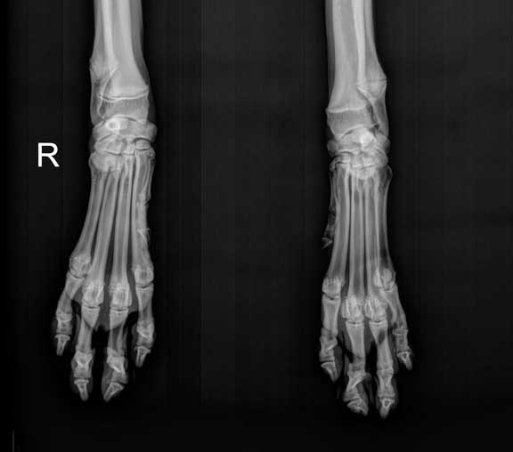 X-Ray of front feet
