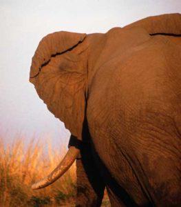 Large veins in elephant ear