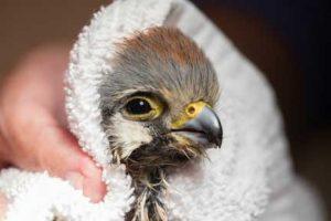 Bathing kestrel with glue on wings