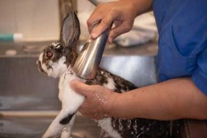 Nurse bathing rabbit