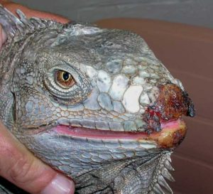Iguana with a badly infected rostrum (nose)