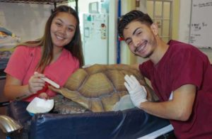 Staff repairing a shell on a large tortoise