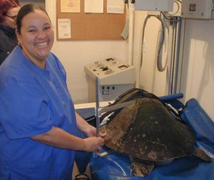 Staff taking a turtle xray