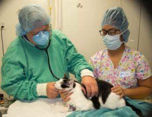 Feline veterinary examination