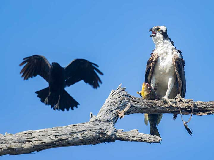 Crow harassing osprey