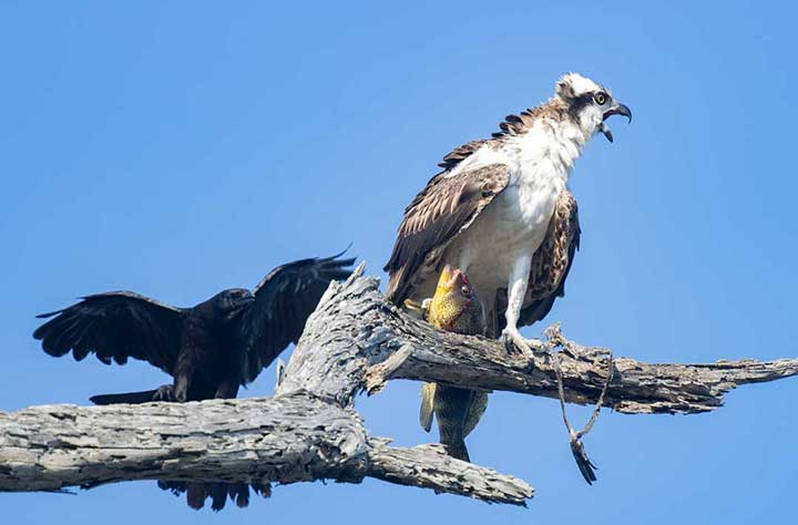Osprey squawking at crow