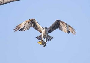 Osprey flying with fish