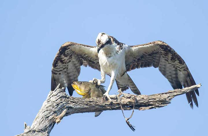 Osprey with fish in talon