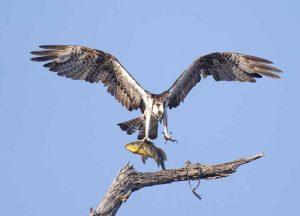 Osprey landing with fish