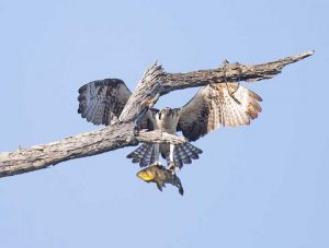 Osprey with fish landing on branch