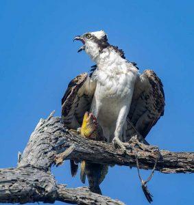 Osprey squawking at crow