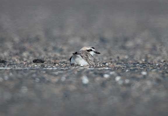 Snowy plover sitting on gravel nest