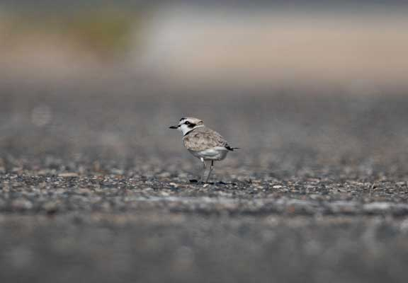 Snowy plover walking away