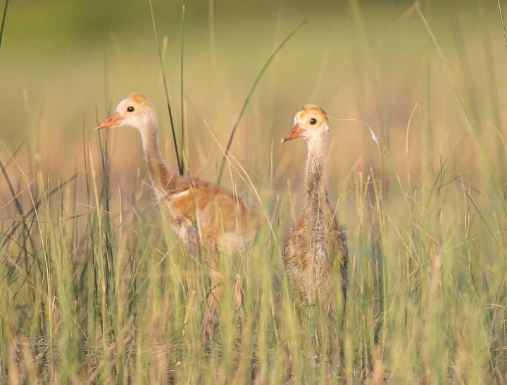 Sandhill Crane with two chicks