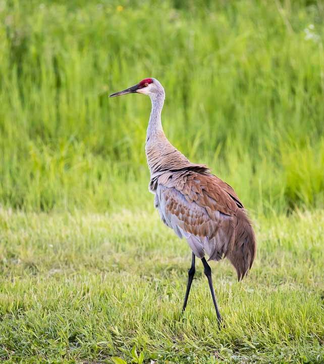 Sandhill crane walking in a field