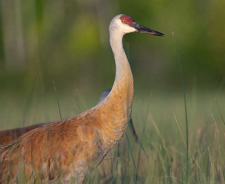 Sandhill Crane adult standing
