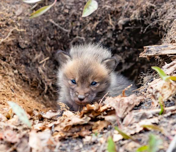 Baby fox peeking out of den