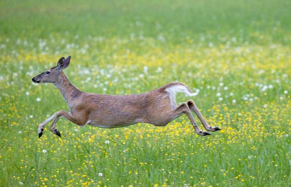Deer running across field